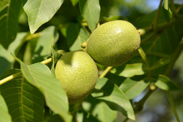 Two green walnuts (Juglans regia)