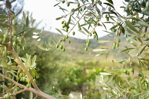 Detail of olive tree with green olives