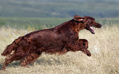 Speedy Irish Setter running in the field
