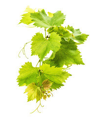 banch of vine leaves isolated on white