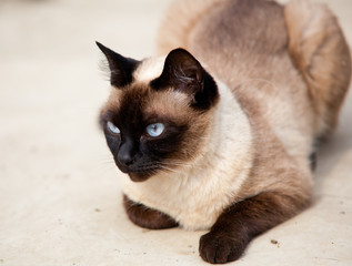 Cute siamese cat relaxing outdoor