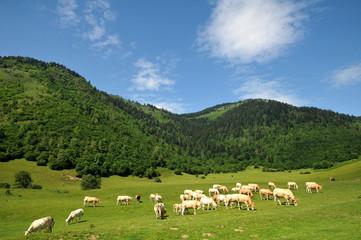 vache sur le plateau - Béarn