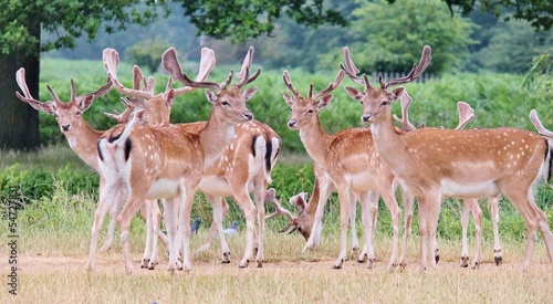 Group of fallow stags