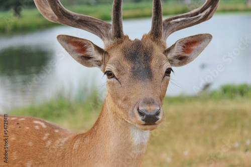 close up stag by river