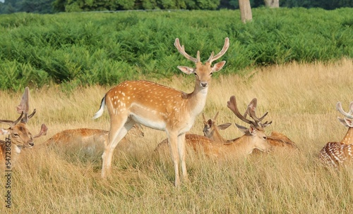 group of stag deer