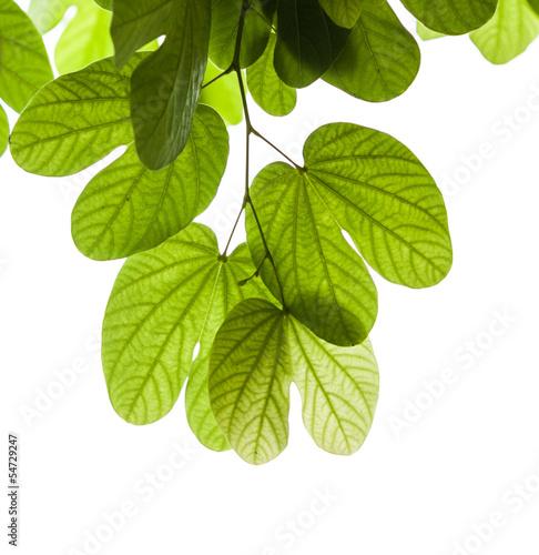 Fototapeten,hell,hintergrund,botanical,verzweigt