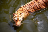 swimming tiger in the pond
