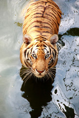 See me tiger