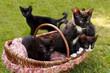 5 kleine Katzen-Geschwister mit Korb auf einer Wiese