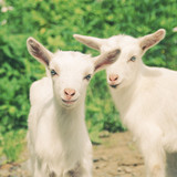 smiling little goats with retro filter effect