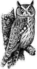 Bird Long-eared Owl