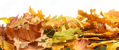 dry autumn maple leaves isolated on  white