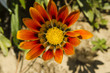 orange african daisy flower macro view