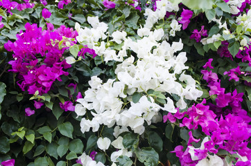 purple and white bougainvillea flowers