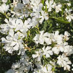 white oleander flowers background