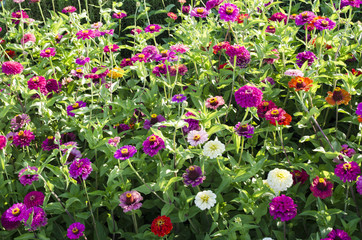 colorful zinnia flowers bed