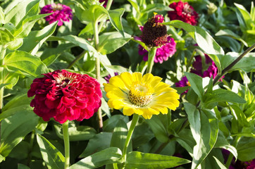 colorful zinnia flower bed