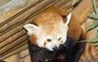 panda roux dans son abri
