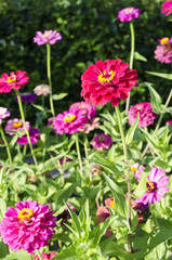 colorful zinnia flowers background