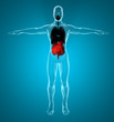 Intestino corpo umano raggi x polmoni