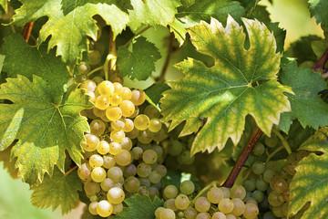 White grapes in sunlight