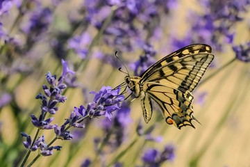 Papilio machaon su fiori di Lavanda