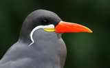 Close-up view of an Inca Tern (Larosterna inca)