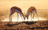 Springbok dual in dust