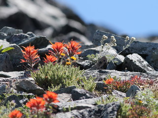 Indian Paintbrush High on Mount Rainier