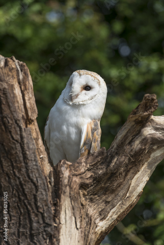 Barn Owl sitting on wooden stump