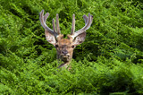 Red Deer in Bracken