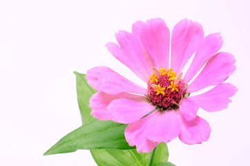 Pink flower isolated on a white background
