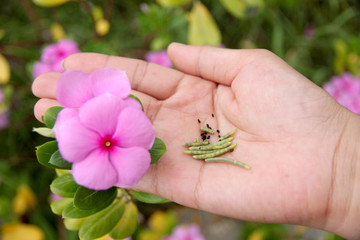 Seed of Catharanthus roseus in hand.