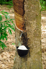 Latex from Rubber Tree Trunk