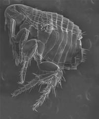electron  microscope-flea (ctenocephalides)