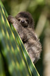 baby three-toed sloth in Costa Rica - 54762822