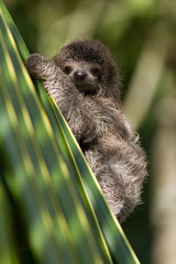 baby three-toed sloth in Costa Rica