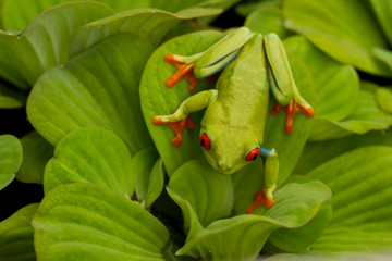 Red-eyed Tree Frog on leaves