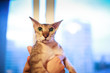 Funny cute peterbald sphynx cat portrait