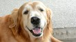 Happy golden retriever is smiling and panting.