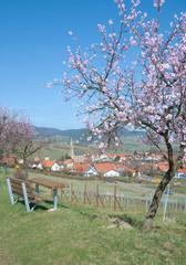 die berühmte Mandelblüte an der deutschen Weinstrasse