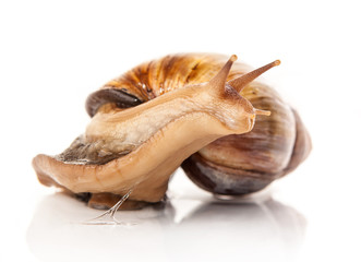 snail ahatina on white background
