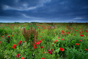 many red poppy flowers and storm