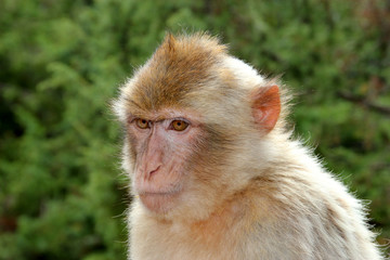 Le singe Magot.