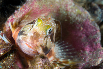 Staghorn blenny, Parablennius gattorugine