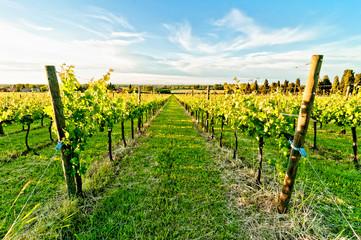 vineyard during springtime in Reggio Emilia hills - Italy