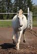 Lipizzan horse galloping on paddock
