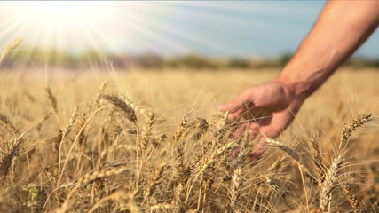 Ripe wheat, hand and the sun