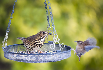 Song Thrush and Wren at Bird Feeder