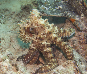 Octopus on a coral reef